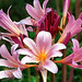 "Cincinnati – Spring Grove Cemetery & Arboretum ""A Pink Lily Spread"""