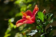 Hibiscus (ivlys) Tags: darmstadt garten minigarden hibiscus blume flower blüte blossom pflanze plant natur nature makro macro ivlys