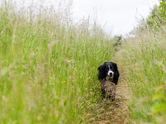 Mali coming back to check up on me (Captain192) Tags: dog dogs collie spaniel bordercollie spanielcolliecross sprollie moira hickslodge nationalforest grass paths footpaths