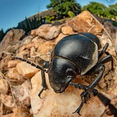 Darkling beetle? (Tenebrionidae) - DSC_2977 (nickybay) Tags: bugshot mozambique gorongosa macro africa cctv wideangle darkling beetle tenebrionidae