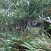 Deer Hiding in the Shrubs