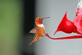 Rufous Hummingbird 18-0602-2497