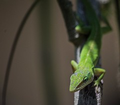 Awaiting Lunch (ACEZandEIGHTZ) Tags: anolis carolinensis green anole lizard nikon d3200 reptile coth coth5