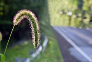 Green Foxtail Grass (Topaz Textures)