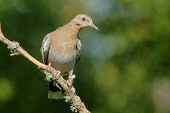 White-winged Dove (4804) (Bob Walker (NM)) Tags: bird setup perching twig dove whitewingeddove wwdo zenaidaasiatica whiterock newmexico usa