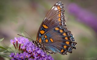 Red-spotted Purple (Limenitis arthemis)