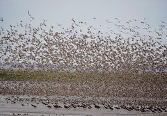 Altogether now.. (yvonnepay615) Tags: panasonic lumix gh4 nature dunlins rspb snettisham norfolk eastanglia uk