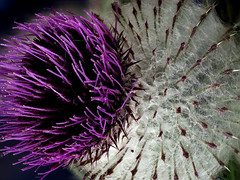 Thistle! (Nick_Fisher) Tags: thistle nickfisher macro picolay