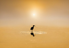 High Tide Hunter (adrians_art) Tags: heron egret bird water reflection silhouette shadow sunrise fog mist sky cloud gold yellow dawn