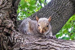Squirrel - This little fellow was playing peek-a-boo with me  IMG_4514 Écureuil - Ce petit écureuil jouait coucou avec moi