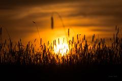 Go to sleep (Soren Wolf) Tags: sunset dawn dusk twilight sun dramatic sky evening moody backlit silhouette rye farmland field clouds cloudy summer light travel beautiful sunlight nikon d7200 300mm