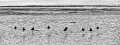 bait (Bim Bom) Tags: birds bait bw baiedesomme picardie picardy landscape