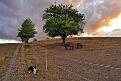 (Uli He - Fotofee) Tags: ulrike ulrikehe uli ulihe ulrikehergert hergert nikon nikond90 fotofee weinberg hünfeld naturschutzgebiet gewitterwolken abendstimmung abendlicht baum pferde fleur sheltie shetlandsheepdog sheepdog