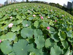 Lotus (Ichigo Miyama) Tags: 不忍池のハス スマホ写真 蓮 nelumbo nuciferaハス科 nelumbonaceae ハス属 花 flower 花写真 flowerphoto 花が好き ハス 上野公園 不忍池 東京 tokyoハス lotus nelumbonucifera ハス科 tokyo