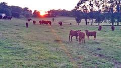 25 - Auvergne Salers (paspog) Tags: auvergne salers france 2018 august août paysages landscapes vaches cows