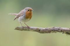 Robin - Roodborstje (Roland B43) Tags: bird robin roodborstje beisbroek