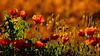 Al borde del camino... (Federico Arregui) Tags: awardtree bordedecamino silvestres papaver papaverrhoeas