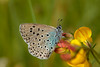 Large Blue (microwyred) Tags: spotted events nature butterflyinsect lepidoptera largeblue beautyinnature animal flower wildlife summer macro insect vibrantcolor greencolor multicolored closeup outdoors fragility deanwaybankglos yellow springtime animalwing