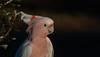 Major Mitchell's cockatoo (Lophochroa leadbeateri)-9220 (rawshorty) Tags: rawshorty birds canberra australia act symonston