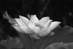 IMG_1658M Lotus (陳炯垣) Tags: blooming flower petal blossom floral lotus nature ハス