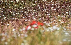 Wildflower perspectives. (pstone646) Tags: wildflowers flora nature meadow daisies poppies colour red white bokeh plants kent flowers dof ngc