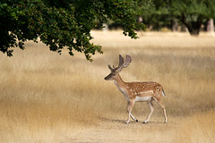 Spotted (Susanne Leyh) Tags: fallow fallowdeer fauna stag wildlife animal deer britishwildlife richmondpark mammal summer meadow nikon nikkor outside outdoors damhirsch hirsch