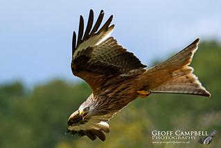 Red Kite in Action (Milvus milvus)