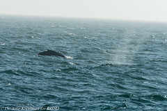 AHK_6437 (ah_kopelman) Tags: 2018 cresli creslivikingfleetwhalewatch megapteranovaeangliae montaukny vikingfleet vikingstarship humpbackwhale whalewatch
