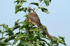 Colius striatus (Speckled Mousebird) - Isunga, Uganda (Nick Dean1) Tags: animalia chordata aves passerine passeriformes speckledmousebird coliusstriatus isunga kibale kibalenationalpark uganda