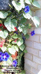 Morning Glory (Purple) flowering on balcony railings 5th August 2018 001 (D@viD_2.011) Tags: morning glory balcony railings august 2018