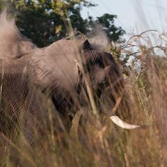 Elephant (sam-white) Tags: elephant safari africa botswana travel canon eos 40d