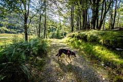 Kiri on the lane (allybeag) Tags: thirlmere harroptarn birkcrag lane dog kiri light shade trees bleatarnlane pathtowatendlath