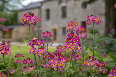 Some flowers... (andyrousephotography) Tags: flowers pink whatarethey yourguessisasgoodasmind godlovesatrier breezy howlinggale hippinghall kirkbylonsdale backofbeyond