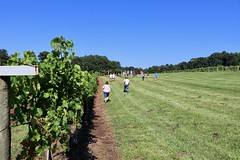 IMG_9098 (UGA CAES/Extension) Tags: vineyard wine winery stonepilevineyard viticulture viticultureteam northgeorgia winecountry ugacooperativeextension uga extension grapes ugaextension cainhickey