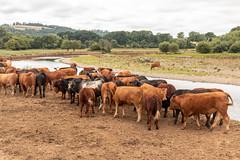 Socialising (Keith in Exeter) Tags: socialise cow cattle livestock heifer bullock herd farm field grass drought landscape river water tree forest woodland sky devon bramfordspeke stokecanon animal