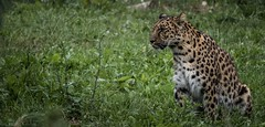 Female Amur leopard (Panthera pardus orientalis) at Yorkshire Wildlife Park, UK (claudiacridge) Tags: