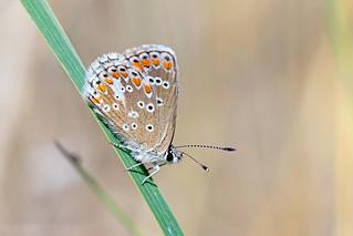 Common Blue, male