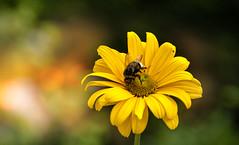 In the garden. (augustynbatko) Tags: garden flower nature macro plant bokeh blur insect bumblebee