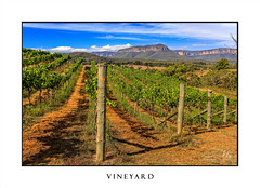 Vineyard - Vines growing grapes (sugarbellaleah) Tags: wines estate vineyard grapes rows growing agriculture nature food wine sunny sky bluegreen mountains cliffs gorgeous stunning views scenic pretty amazing australia fabulous scenery valley industry