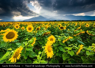 Bulgaria - Sunflower field in full bloom during stormy evening