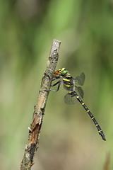Cordulegaster boltonii (Helena Medunová) Tags: nature vysočina vážka cz czechrepublic dragonflies dragonfly cordulegaster odonata insecta insects insect páskovec radešín