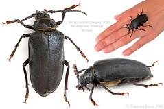 Mrs Sawyer (Franziska Bauer) Tags: prionuscoriarius prionus cerambycidae prioninae coleoptera beetle bockkäfer longhornbeetle sawyer tanner sägebock metamorphose insect insekt