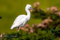 Little-Blue Heron Juvenile (mayekarulhas) Tags: oceancity newjersey unitedstates us littleblueheron canon500mm canon1dxmark2 bird avian wildlife