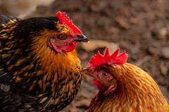 Rooster & the Chick (patrick.vandebroek) Tags: kip haan rooster chicken love kussen kiss