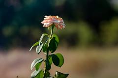 Speranza e (c#giorno) Tags: natura rosa fiore fiori ragnatele nature rose flower flowers