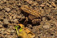 180622 Parc provincial du Mont-Tremblant    -9304 (Serge Léonard) Tags: parcprovincialdumonttremblant sentierdenaturedulacdesfemmes villedetremblant grenouille