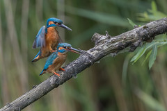 R18_8738 (ronald groenendijk) Tags: cronaldgroenendijk 2018 rgflickrrg alcedoatthis animal bird birds copyrightronaldgroenendijk europe groenendijk holland ijsvogel kingfisher martinpecheur nature natuur natuurfotografie netherlands outdoor ronaldgroenendijk vogel vogels wildlife