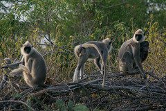 Gray Langur (nipunagamage) Tags: bundala srilanka safari safarijeep wildlife wildlifesrilanka wildlifephotography nikon nikond3300 nikond3300samples sigma sigma70300mm nature animals