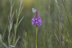 Agradecida... (Rafael Díez) Tags: españa larioja camprovin primavera macro naturaleza flor orquídea piramidalis mariposa rafaeldíez