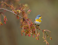 Northern Parula (Brian_Harris_Photography) Tags: northern parula black bird nikon nature nikkor lens light exposure eye red yellow warbler hiking spring maple green tree trees white long pennsylvania park portrait
